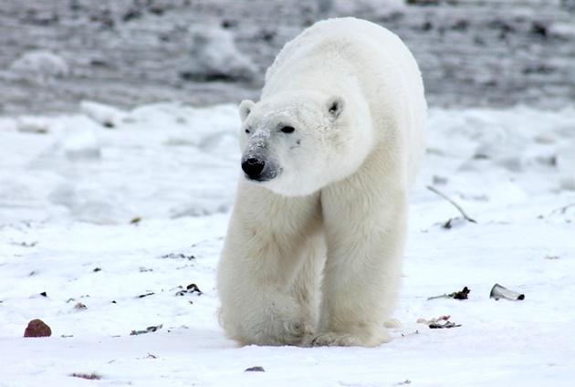 Polar Bear Killed after Attacking Hapag-Lloyd Cruises' Guard