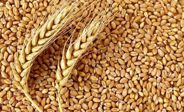 قیمت گندم بیش از ۵ هزارتومان است