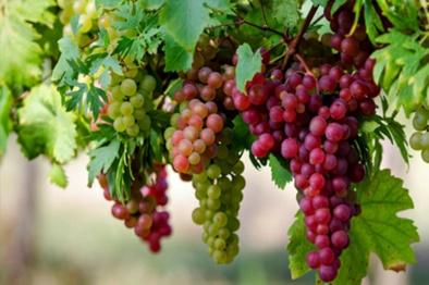 ۳۵ هزار تن انگور از باغهای شاهرود برداشت شد