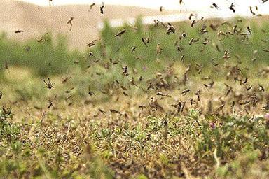 وضعیت زرد در خرمشهر به دلیل حمله ملخ دریایی
