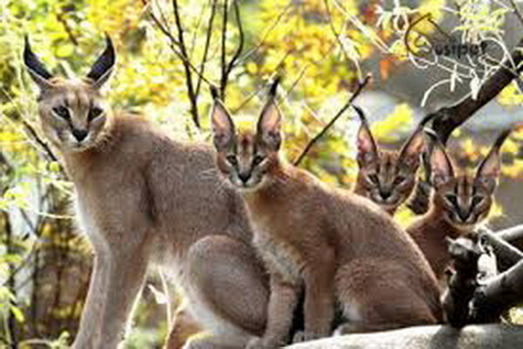 تهدید نسل گربههای جنگلی در جادههای گیلان