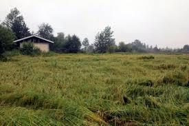 شالیکاران برای جلوگیری ازخسارت شالیزارها در هوای بارانی درو نکنند