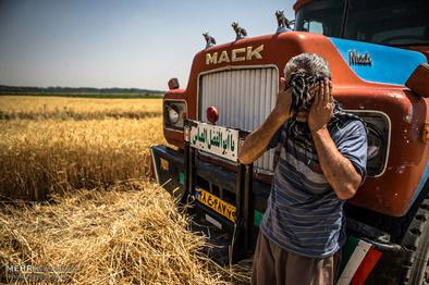 گندم کردستان به دلیل پرداخت نشدن کرایه رانندگان روی زمین مانده  است